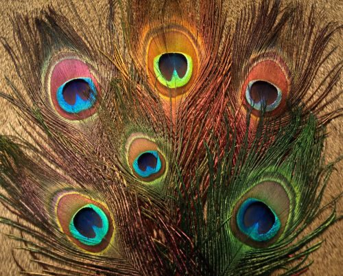 Nature's Spirit Peacock Sticks (Eye Plumes)
